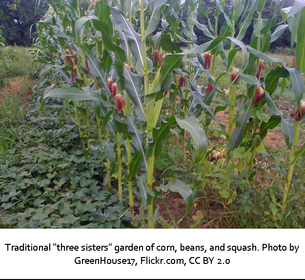 "Traditional ""three sisters"" garden of corn, beans, and squash. Photo by GreenHouse17, Flickr.com, CC BY 2.0"